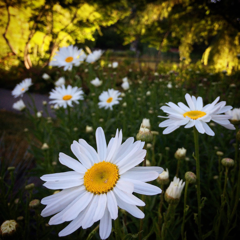 White daisy flowers in vancouver canada photograph print zoom izmirmasajfo