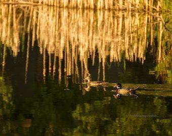 Wood Ducks en route