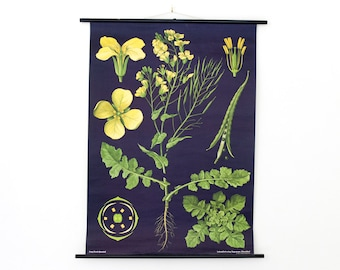 Vintage Pull Down Chart Jung Koch Quentell Biology Rapeseed