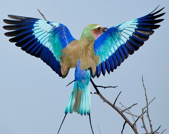 Taxidermy Lilac Breasted Roller Skins for taxidermy or fly tying