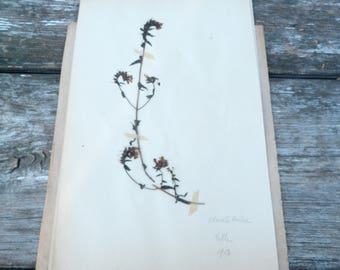 Antique 1908s Français herbier Odontite Ruhre