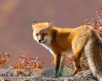 Alaskan Red Fox, Denali National Park, 8x12 Fine Art Photograph (D4271), Wild Fox Photograph