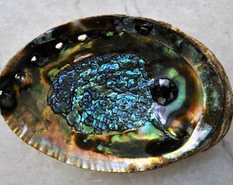 "XL Green Abalone Seashell (7-8"") - Haliotis Fulgens"