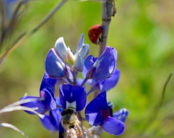 Bluebonnets, Ladybugs and Bees, Oh My!
