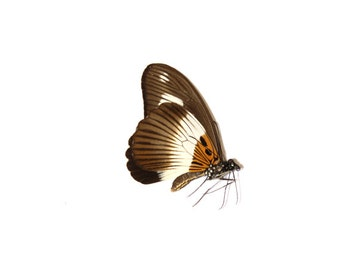 Mimetic White-banded Swallowtail (Papillo cynorta cynorta) Butterfly Specimen