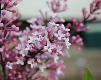 Digital Download | Photography Print | Blossom Flowers