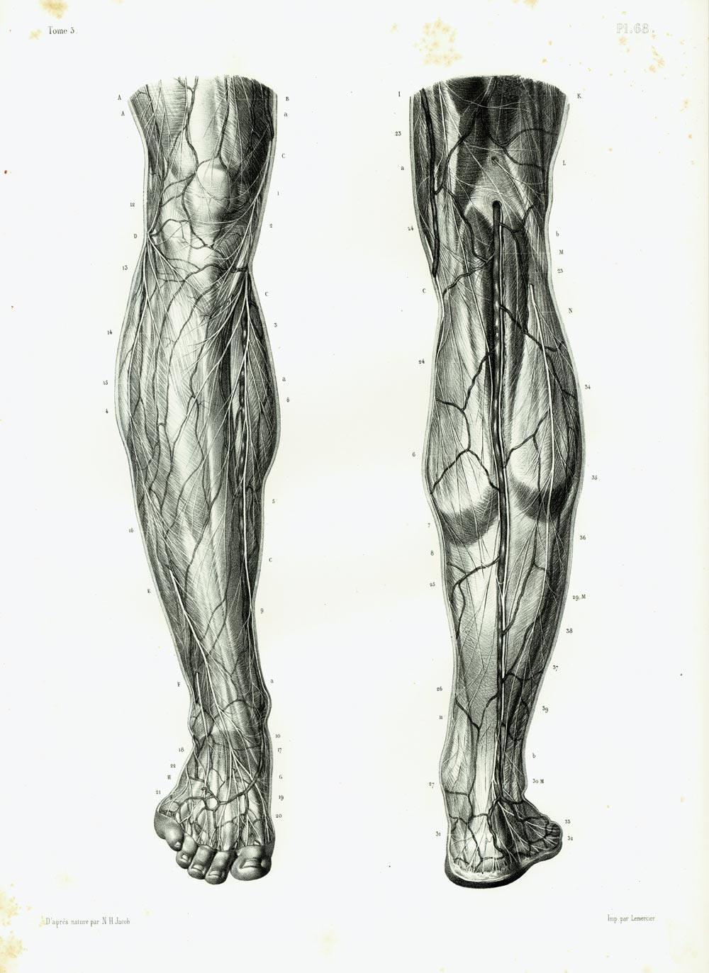 1844 Muskeln Nerven aus dem Oberschenkel Knie Bein und Fuß