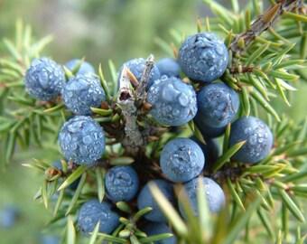 Juniper Berry Essential Oil - 1 pound