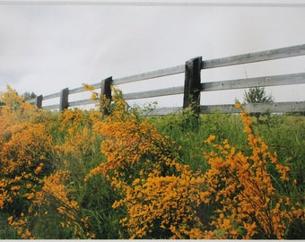 5x7 photograph of yellow scotch bloom and fence, Washington