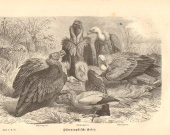 1879 Old World Vultures, Griffon Vulture, Egyptian Vulture, Black Vulture Original Antique Engraving