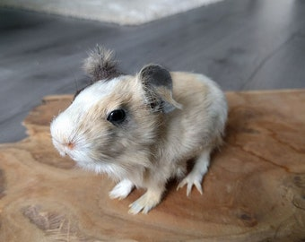 Baby Guinea Pig Taxidermy Sculpture Lifesize Mount