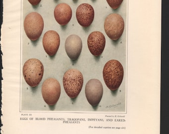 Pheasant print, 1931, Eggs of Blood Pheasants, Tragopans, Impeyans & Eared Pheasants, painted by Gronvold - PD001867