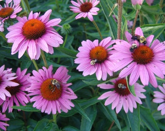 200 Echinacea purpurea ,Eastern purple coneflower Seeds,