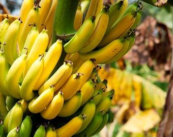 Banana seeds ,517, yellow banana, fruit seeds, non gmo seeds, gardening , greek seeds, summer seeds