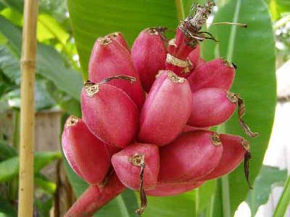 rosa essbare Bananen MUSA PINK VELVET Banane Palme 10 Samen winterhart
