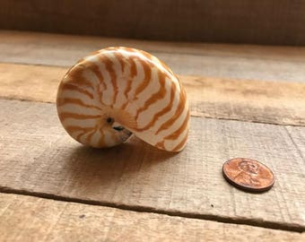 Chambered Nautilus, 2'' to 2.5'', 1 piece, Rare
