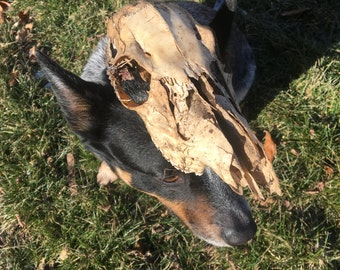 This Is A Test LISTING For A Dog Wearing a Skull