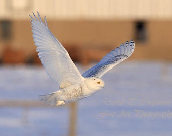 Snowy Owl Flightpath