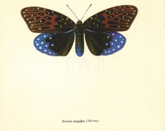 Moth Print, Butterfly Art Print, Home Decor, Natural History, Vintage Illustration to Frame, Entomology, Erasmia Sanguiflua, A-1