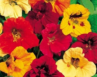 Nasturtium Seeds, Tropaeolum Majus Jewel Mix, Annual Flower, Fabulous Color