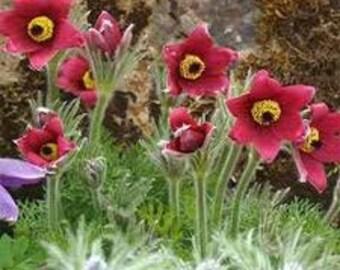 Pasque Flower Seeds, Anemone Pulsatilla Vulgaris Red, Perennial Plant, Early Bloomer