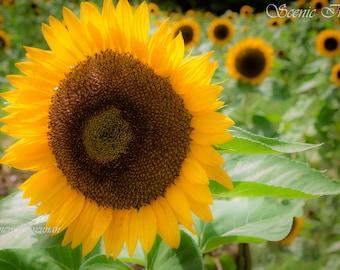 Mattituck Sunflower Field