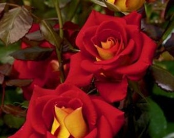 Grow Your Own Red and Yellow in the Center Roses 20 Organic Rose Seeds