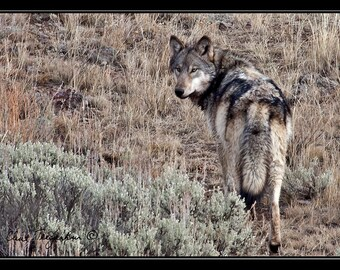 Lamar Wolf returning to den, Original Fine Art Photography