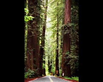 Landscape Photograph - Redwood Trees and Road Photograph, California - Sun Through Tall Tree Art Print