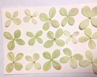 Item #HYPG15- Real pressed hydrangeas in green with a touch of pink - 15 pressed hydrangeas per pack
