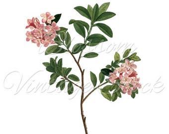 Pink Flower Clip Art, Vintage Flower Print, FLower Art Print, Botanical Print Flower Art - Floral Art - Garden  INSTANT DOWNLOAD- 2359