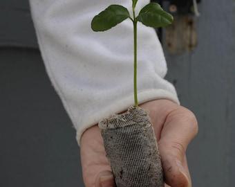 TreesAgain Etrog Citron Trees - Citrus medica - starter plug