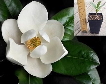 Magnolia grandiflora - Southern Magnolia Tree in 2.5 inch pot - Young starter plant