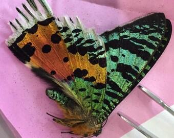 Madagascar Sunset Moth real unmounted