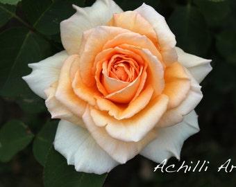 Orange Rose- Elizabeth Park- Original Photograph