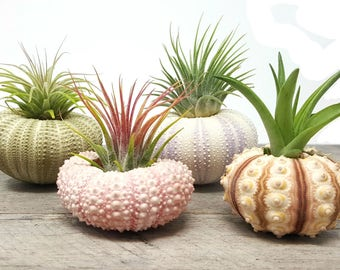 4 Pcs Sea Urchin Air Plants Lot / Kit Includes 4 Plants and 4 shells + Kraft Gift Box
