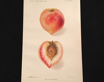 Early Wheeler Peach Print, 1906 Dept. of Agriculture's Promising New Fruit Print, Vibrant Color Lithograph