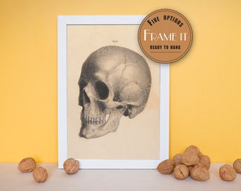 "Vintage illustration of lateral view of the skull - framed fine art print, art of anatomy, 8""x10"" ; 11""x14"", FREE SHIPPING - 180"