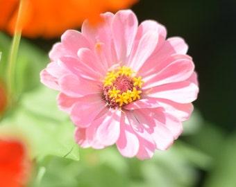Pink Zinnia - Digital Image, Pink Zinnia, Flower