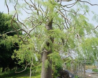 5 Seeds Moringa drouhardii . Bottle Tree Seeds ,