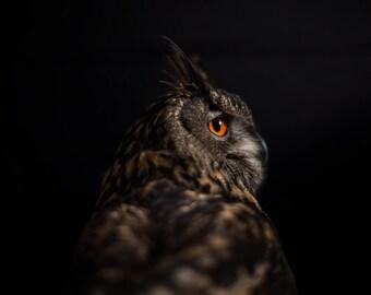 Owl photography, brown owl print, nature bird of prey photograph wall art, owl in shadows photo wall art, royal owl gothic home decor 8 x 12