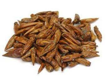 Balm of Gilead Poplar Buds