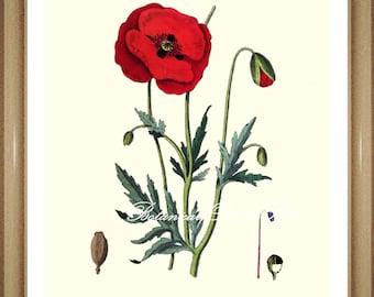 "Poppy Print. #1 Botanical Print. Antique Flower Print, Poppies.  8x10"""