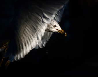 Bird Photography, Bird Print, Nature Photography, Wall Decor, Fine Art, Gull, Wall Decor