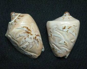 Voluta Nobilis Shell Carved (EA)