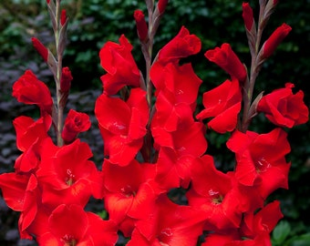 Gladiolus Red Color Flower Bulb Perennial Summer Blooming