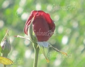 Printable Photograph, Red Rose Bud, Landscape, Illustration, Nature Photography, Digital Download, Wall Home Decor, Fine Art, Flower Power