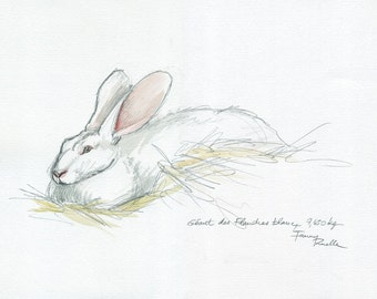 White giant Flanders rabbit - watercolor from life