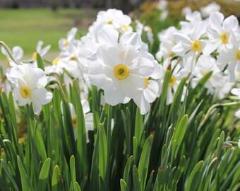 White Daffodils, White Daffodil Bulbs, Spring Bulbs