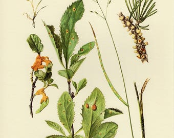 Vintage lithograph of plant pathogens, rust fungi, pathogenic fungi, pucciniales from 1964